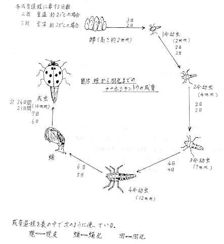 ナナホシテントウムシ